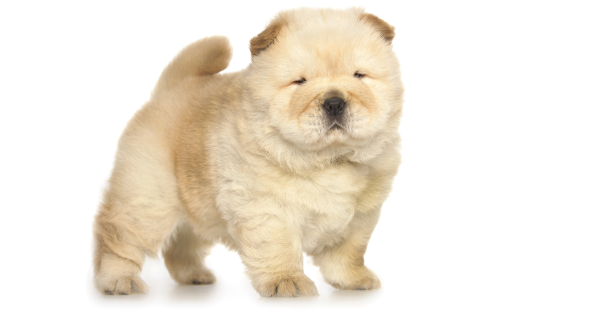 Mini Chow Puppies Puppy Hood And